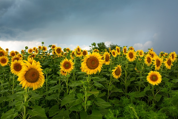 A field of sunflowers before the rain. black rain clouds over a field of sunflowers