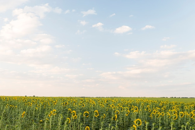 Field of sunflowers plants with blue sky in summer