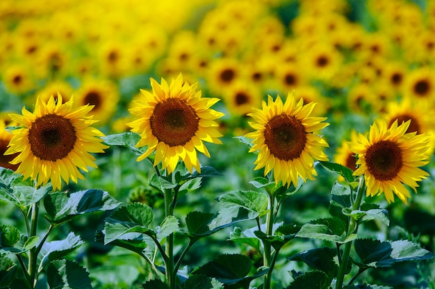 The field of sunflowers under summer sun