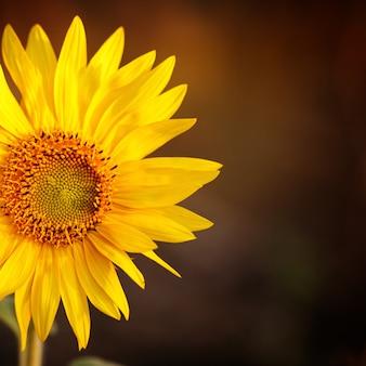 Field of sunflowers in sunset light