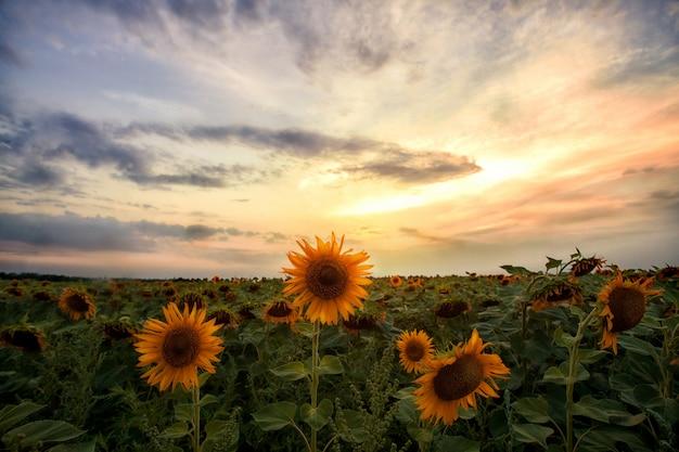Field of sunflowers on sunset