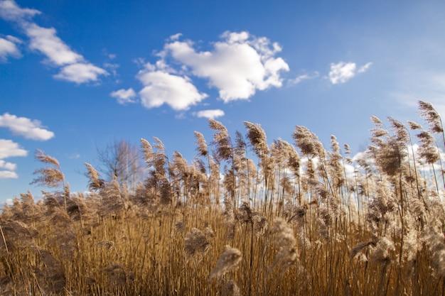 Field of tall dry grass