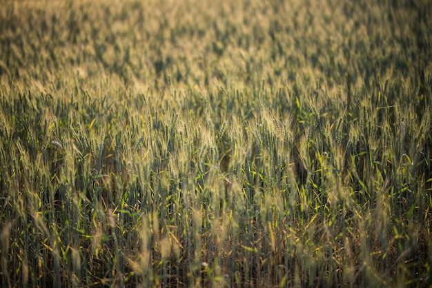 Field of wheat farm