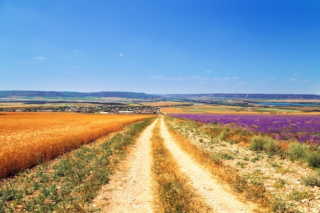 Field of wheat and lavender field in crimea.