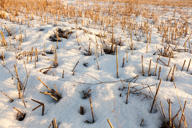 곡물을 수확 한 밭. 겨울철 농업. 땅 위에는 하얀 눈의 표류가 흩어져서 식물의 마른 노란색 줄기가 튀어 나와