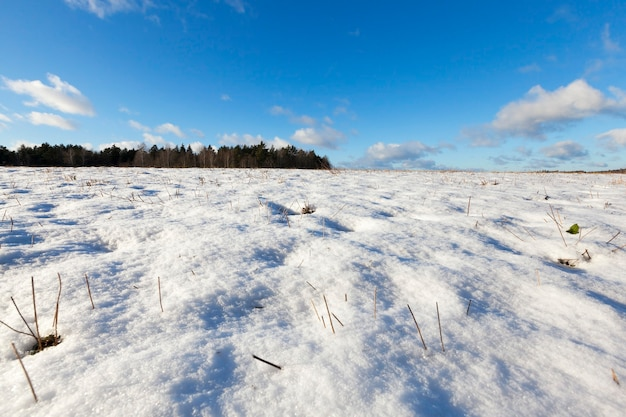 곡물이 수확 된 밭. 겨울철 농업. 땅 위에는 하얀 눈의 표류가 흩어져서 식물의 마른 노란색 줄기가 튀어 나온다