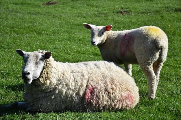 큰 목초지에서 봄철에 어린 양이 있는 들판.