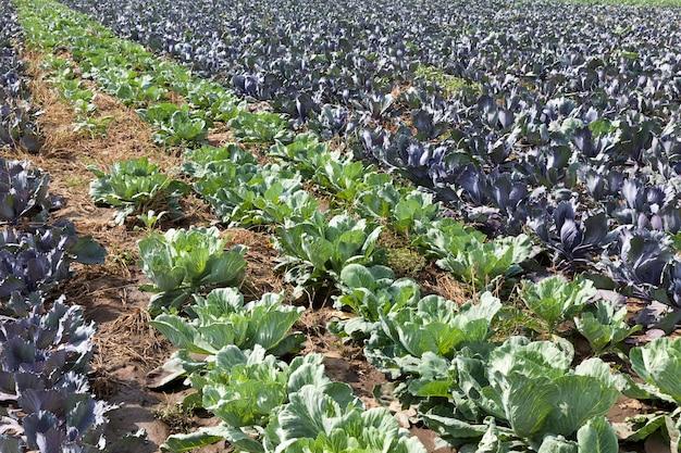 Поле со смешанным урожаем зеленой и красной капусты