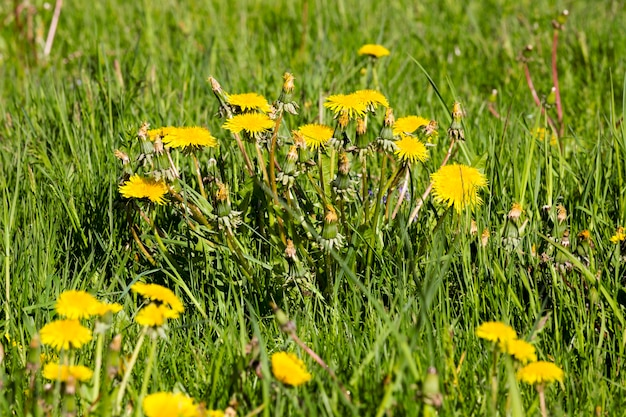 Field with beautiful live yellow dandelions in the spring season, beautiful real nature outside the city, closeup