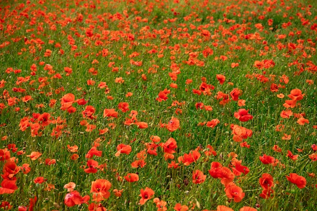 Поле с красивыми красными маками. красивый пейзаж