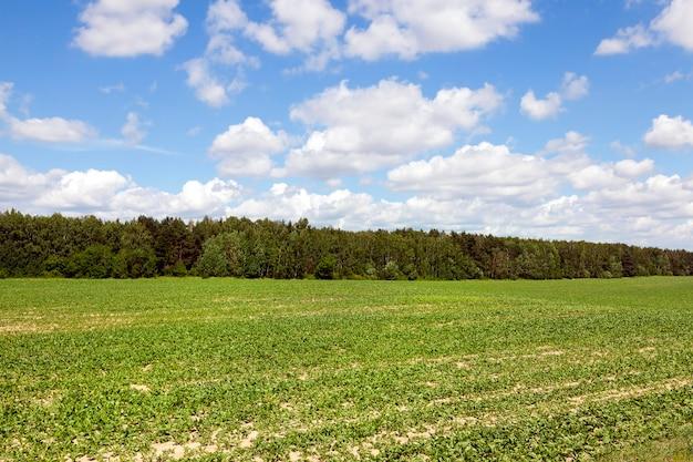 설탕 생산에 사용되는 비트 뿌리가있는 들판. 백그라운드에서 숲과 푸른 하늘