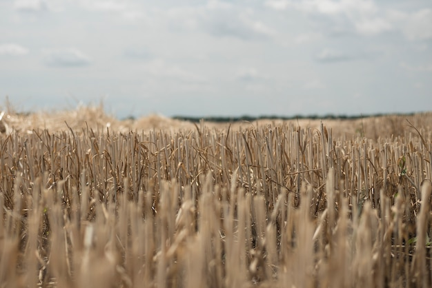 Field with beveled wheat. the straw sticks out of the ground