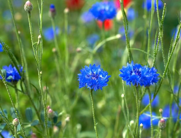 봄 날에 푸른 수레 국화와 녹색 잎 필드