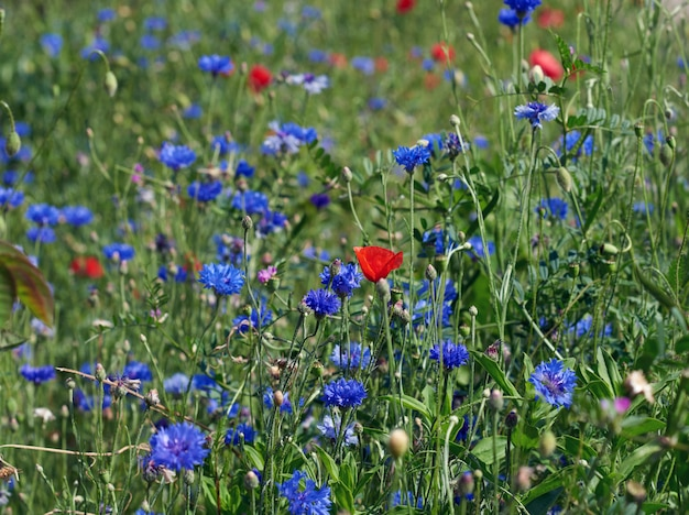 Field with blue cornflowers and red blooming poppies and green leaves