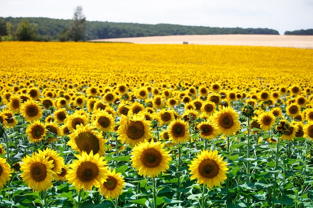 A field with bright yellow blooming sunflowers and hills with fields of wheat against a blue sky