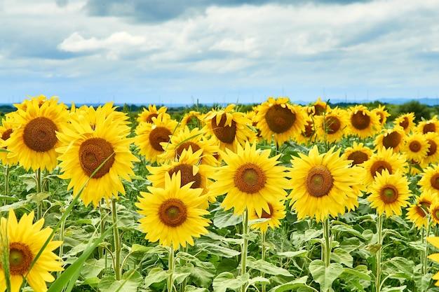 明るい黄色のヒマワリ、曇りの天候、美しい夏の風景のフィールド。