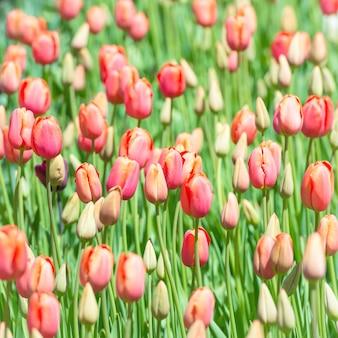 閉じた赤とピンクのチューリップのつぼみのある畑。