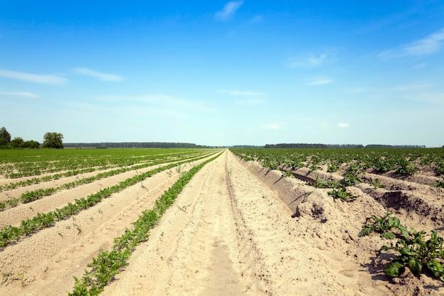 にんじんのある畑-にんじんが育つ農地。緑の植物ニンジン