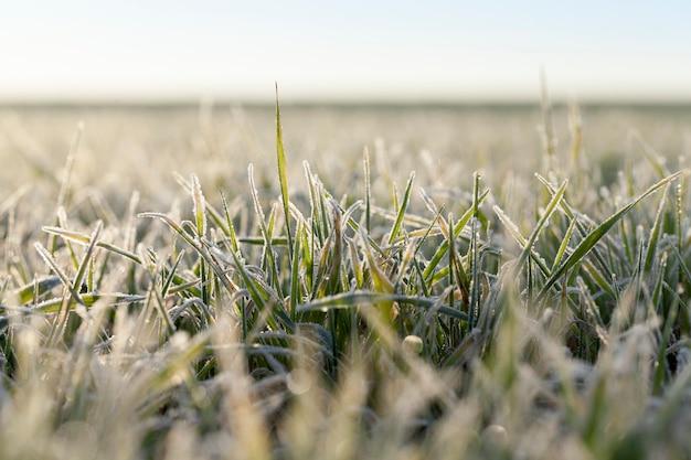冬に霜の結晶で完全に覆われた穀物の芽のある畑