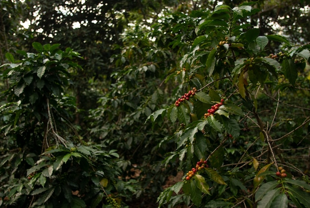 Поле с кофейными зернами на ветвях деревьев под солнечным светом с размытой стеной в гватемале