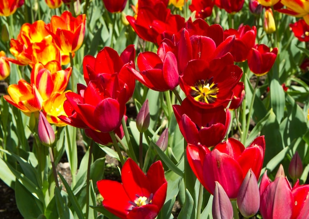 Field with colored tulip
