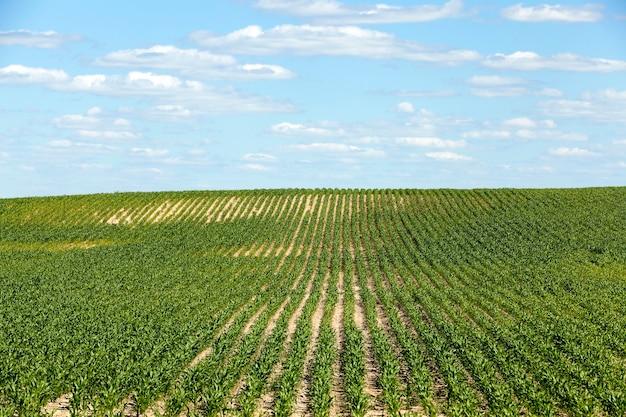 とうもろこしのある畑-若いグリーンコーンを栽培している農地。未熟なトウモロコシ