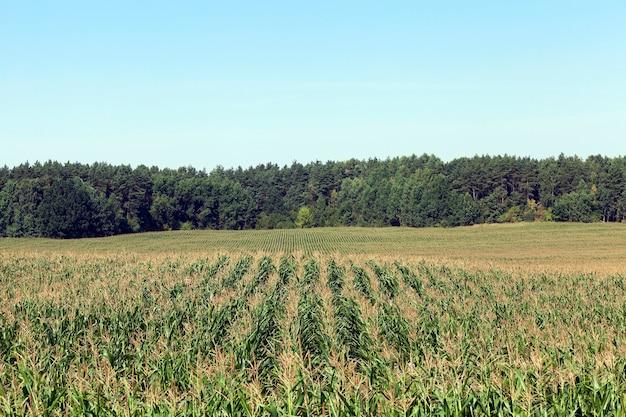 옥수수 필드