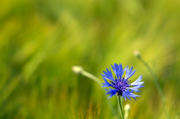 A field with cornflowers and other wildflowers.