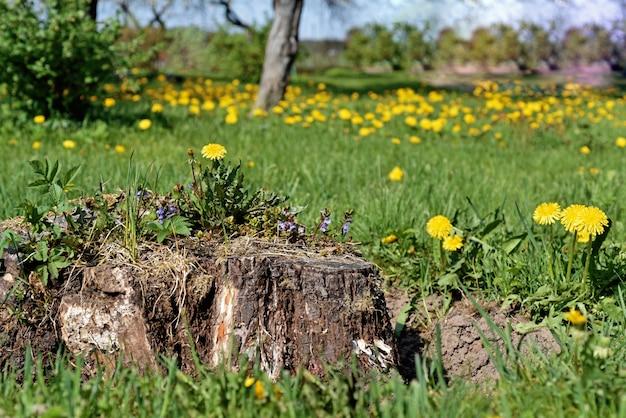 Поле с одуванчиками. первые весенние цветы.