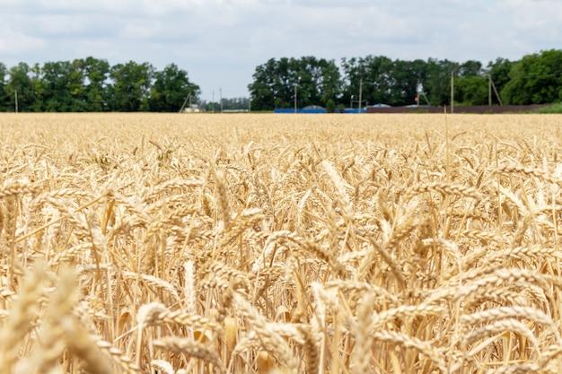 穀物の耳を持つフィールドをクローズアップ。農業農業農村経済農学コンセプト