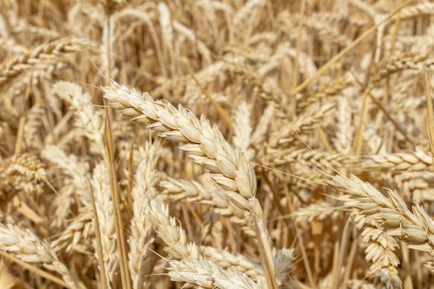 穀物の耳を持つフィールドをクローズアップ