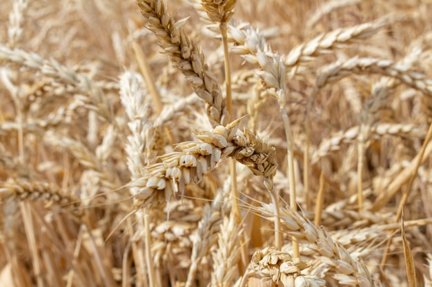 穀物小麦の耳を持つフィールドをクローズアップ。農業農業農村経済農学コンセプト