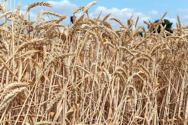 穀物小麦の耳を持つフィールドをクローズアップ。農業農業農村経済農業概念