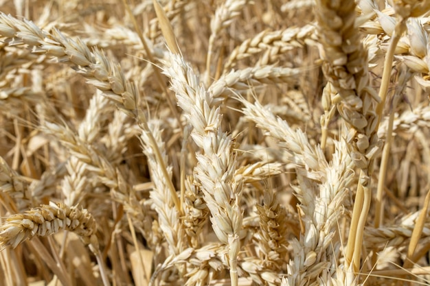 穀物小麦の耳を持つフィールドは成長を閉じます。農業農業経済学