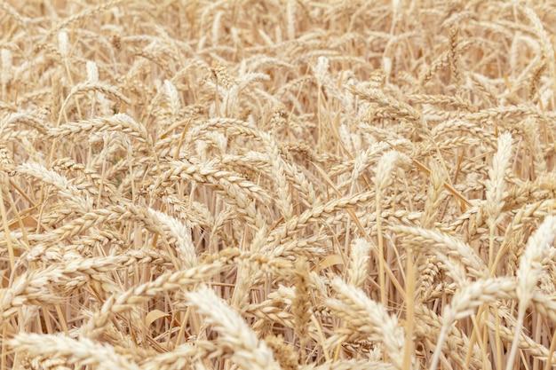 穀物小麦の耳を持つフィールドをクローズアップ成長、農業農業農村経済農業概念