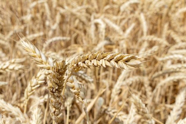 穀物小麦の耳を持つフィールドをクローズアップ。収穫のコンセプト