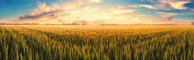 日没時の小麦の耳を持つフィールド