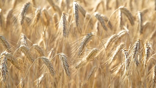 Поле с колосьями пшеницы крупным планом