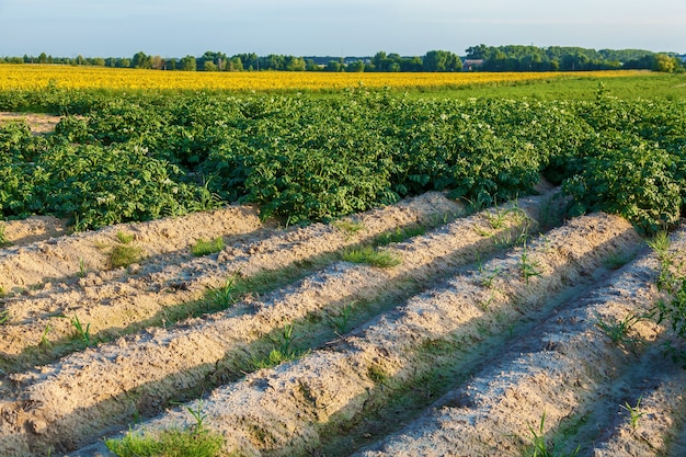 A field with flowering bushes of potato a farm grows potatoes in fields with sandy soil