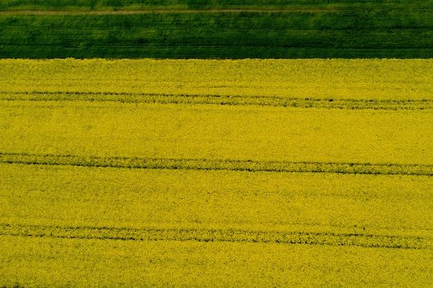 Поле с цветущим желтым рапсом
