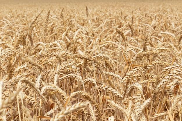 穀物、小麦のフィールドをすぐに収穫の準備ができて