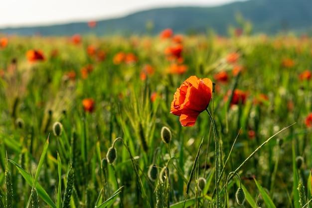 Поле с зеленой травой и красными маками. опийный мак. поляна красных маков.