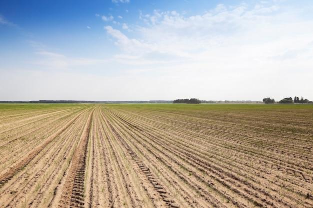 Поле с зеленым луком сельскохозяйственное поле, на котором растут молодые деффекты зеленого лука, имеющиеся на стеблях лука.