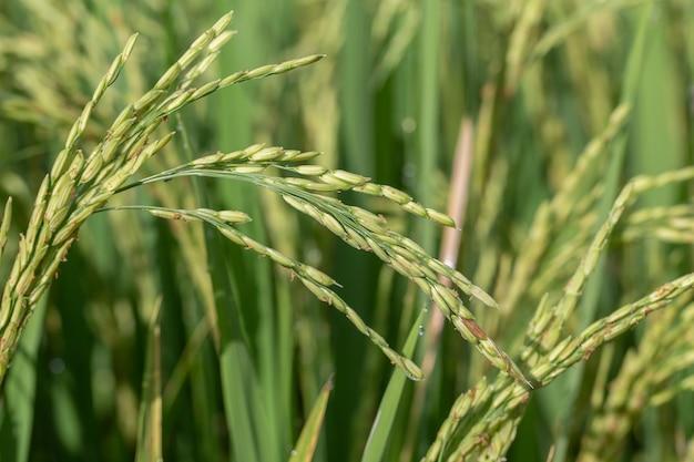 녹색 쌀 줄기와 필드입니다. 인도네시아 발리 섬 우붓. 녹색 라이스 테라스를 닫습니다.