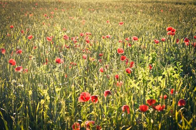 곡식의 녹색 새싹과 많은 양귀비 꽃이 있는 들판