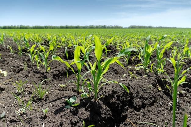 봄의 화창한 날에 어린 옥수수의 녹색 콩나물이 있는 들판