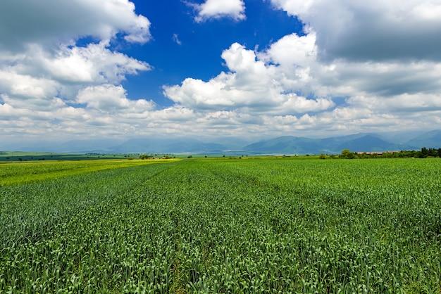 녹색 밀 콩나물이 있는 들판