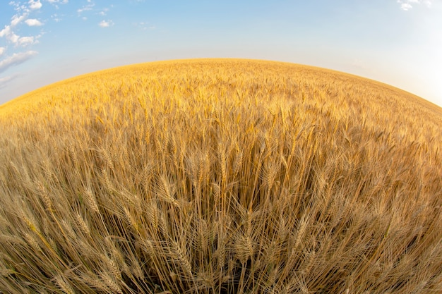 Поле с растущей пшеницей широкоугольным обхватом на фоне неба. агрономия и сельское хозяйство. пищевая промышленность.