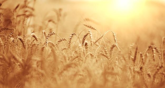 夏の日に黄色い熟した小麦が育つ畑。明るい太陽の光