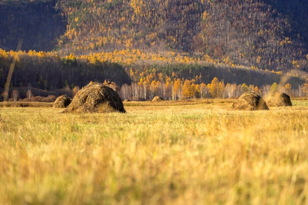Field with haystacks in sunny autumn day. panoramic view of rural landscape Premium Photo